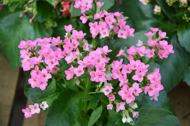 flores de kalanchoe cor-de-rosa