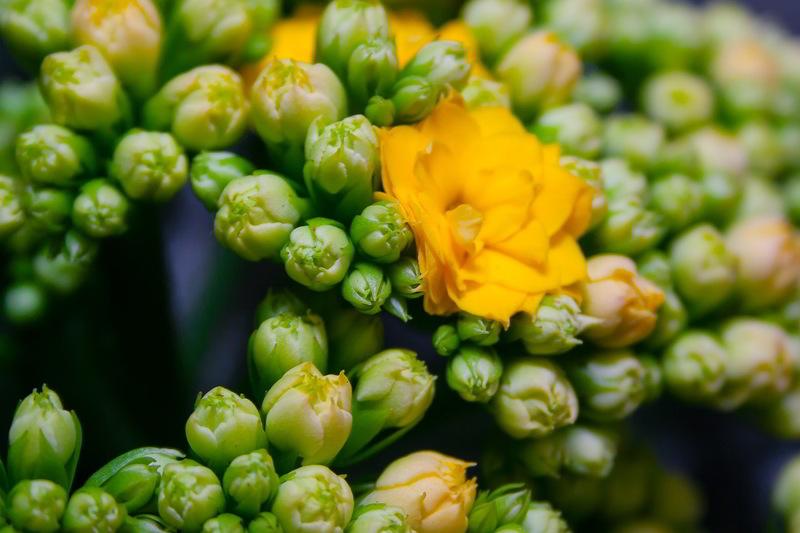 flores de kalanchoe amarela