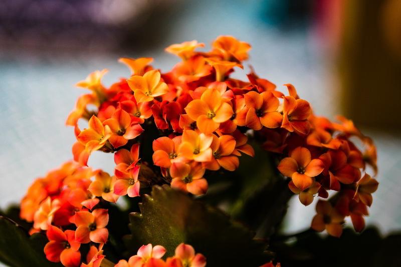 flores de kalanchoe cor-de-laranja