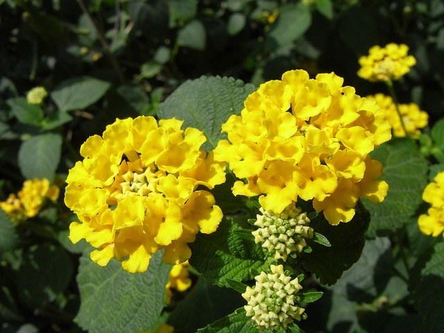 Flores Lantana camara 'mine d'or'