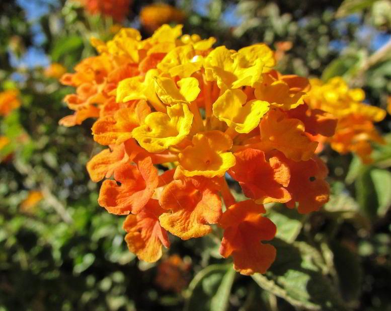 Flores Lantana camara 'tangerine'