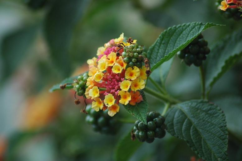 Flores Lantana camara 'feston rose'