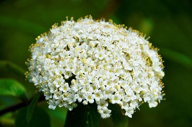 Flor da Lantana 'snow white'